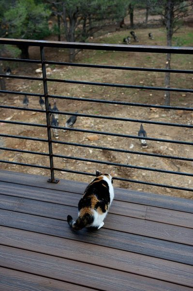 The couple's Calico cat, Popper, watches a flock of hen turkeys from a deck. Photo by Barry B. Doyle.