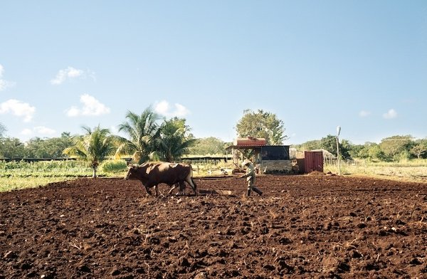 Farming Cuba: Oxen Working the Land  Oxen replaced tractors in the Special Period, and remain common in Havana today. This team is working at the Vivero Alamar organopónico in Havana.  Photo provided by Carey Clouse