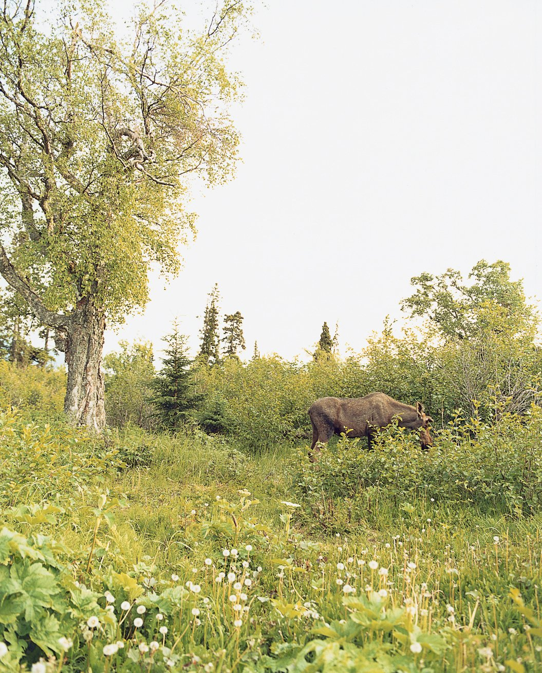 Valerie Phelps and Peter Burke's immediate backyard frequently plays host to moose and other wildlife in search of an afternoon snack.  Photo 3 of 9 in Alaska: The Final (Architectural) Frontier