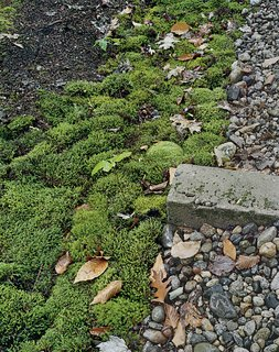 Supplant Your Lawn - Photo 1 of 2 - For colder climates that also experience periods of drought, moss is an attractive choice. It thrives in poor, acidic soil, and requires shade, making it perfect for rocky areas with tree cover.