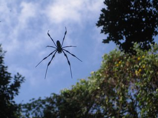 Though the returning of Simpson Park to its pre-Columbian state has fostered the flourishing of quite a bit of wildlife, the most prevalent residents were these massive spiders which hung from capacious overhead webs measuring at least the width of the footpath.