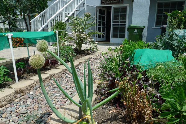 Corn, broccoli and artichokes are just some of the crops Begley grows in his backyard.