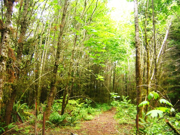 The overgrown logging road, leading to our undeveloped 21-acre property.