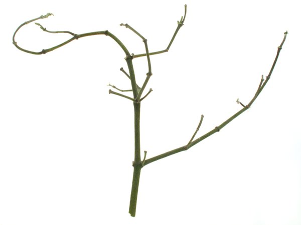 It starts with a stick of mistletoe, stripped clean of its leaves.