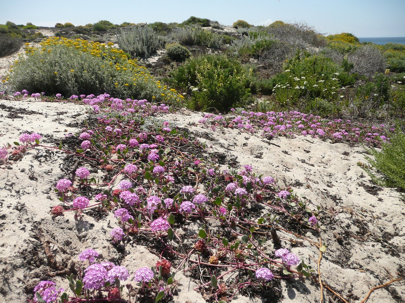 Pacific Grove Dune Restoration by John Wandke.