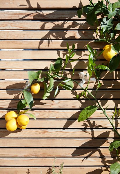 Viarengo used the espalier method—in which a plant's branches are affixed to asurface to encourage them to grow flat—to save space. The lemon tree stretches across a fence of clear, or knot-free, red cedar.