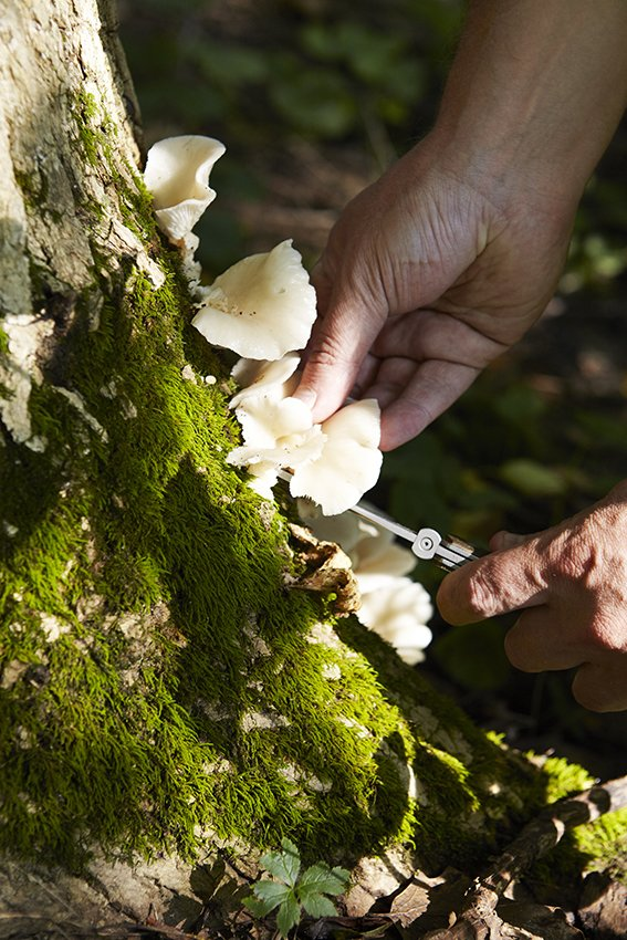 "Here the chef selects a few oyster mushrooms, which ""grow on trees and logs during the wetter part of summer,"" he explains. At Please, the fungi are used for stock as well as in composed dishes, combined with shallots, thyme, and butter. Santos notes that this particular specimen is identified by its distinctive bunching pattern and its ""oyster-like"" scent.  Photo 8 of 12 in Please Cincinnati"