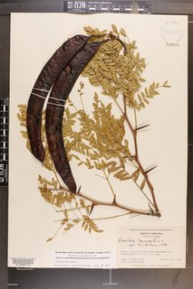 The Modernist's Tree - Photo 1 of 4 - The fruit of the tree is the long, twisted seed pod, which forms in late summer and turns from green to reddish brown as it matures. The pods emit a sweet aroma when they ripen and are sometimes eaten by livestock and wildlife.