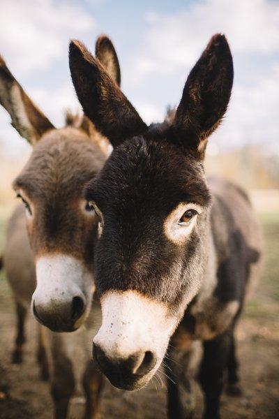 Miniature donkeys and alpacas roam the land freely.