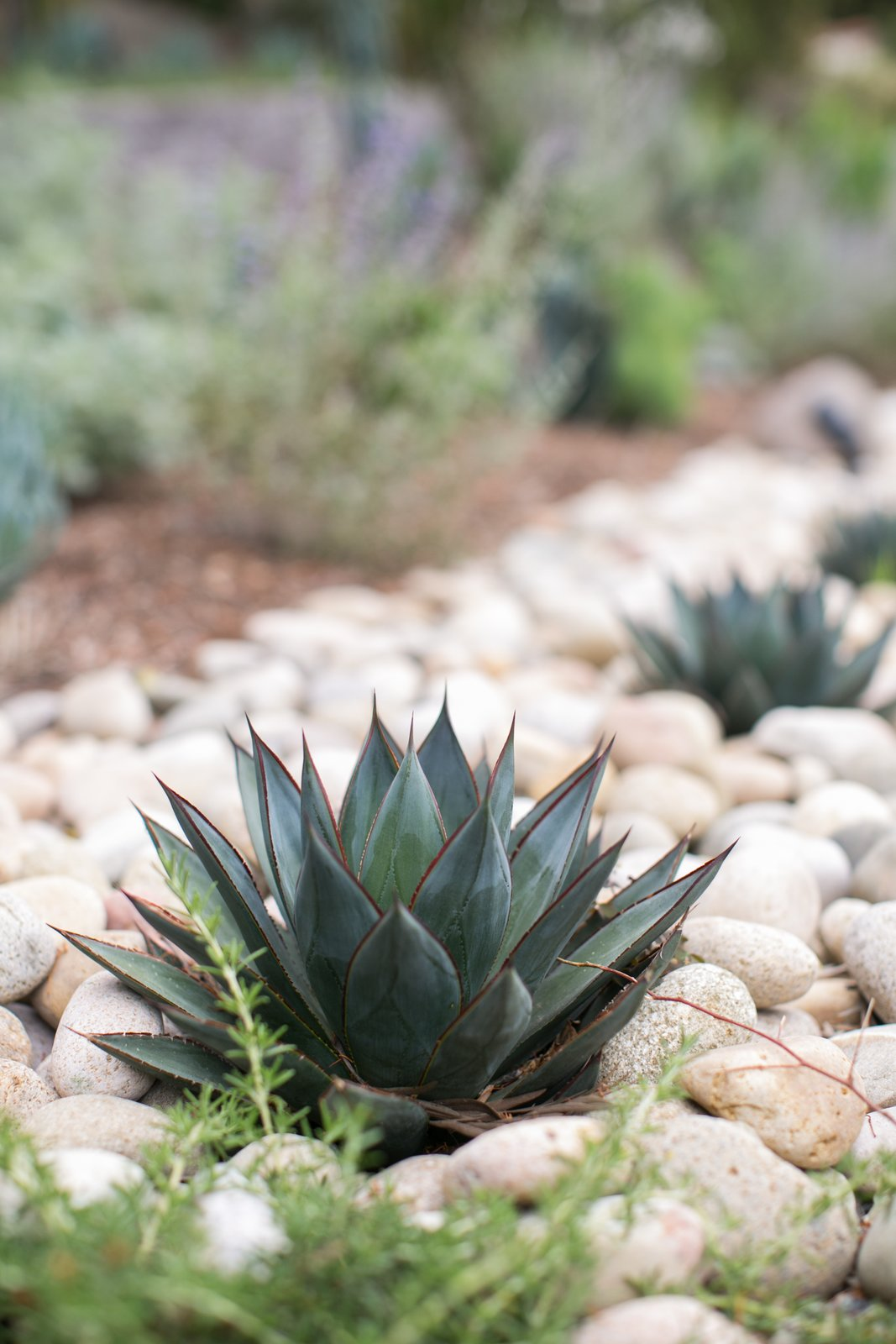 blue agave Backyard Style by Hondo Lewis