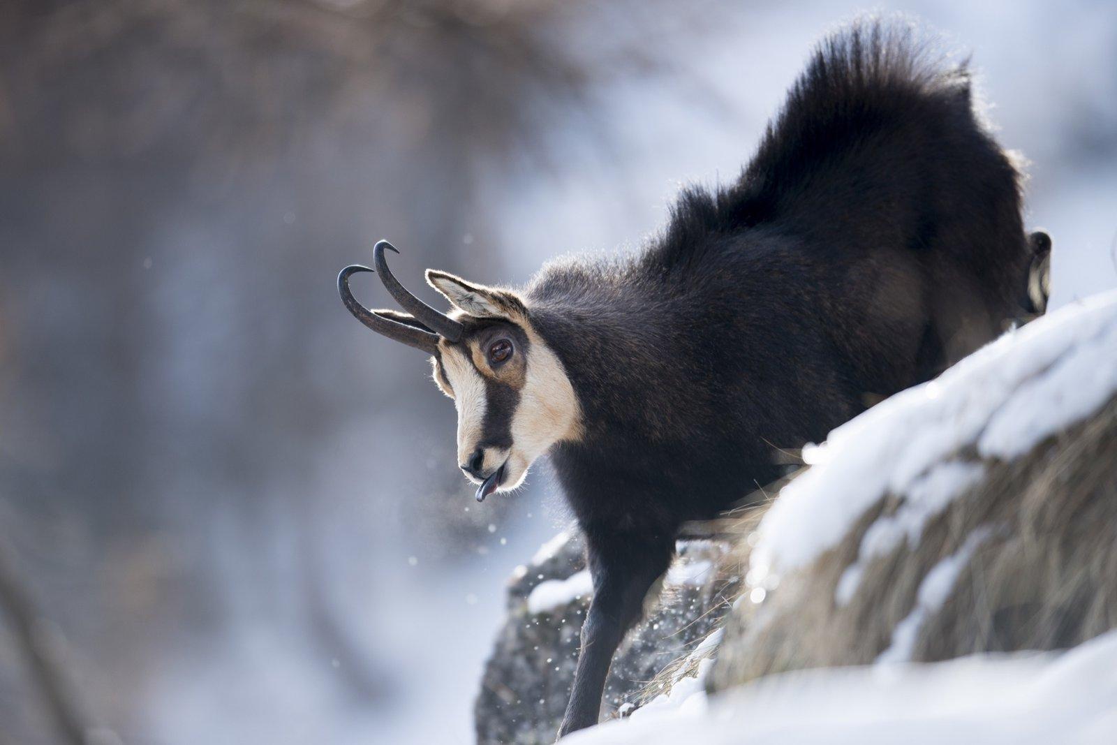 #alpinemodern #wildpresence #italianalps Photo by Martin Dellicour  Wild Presence by Alpine Modern