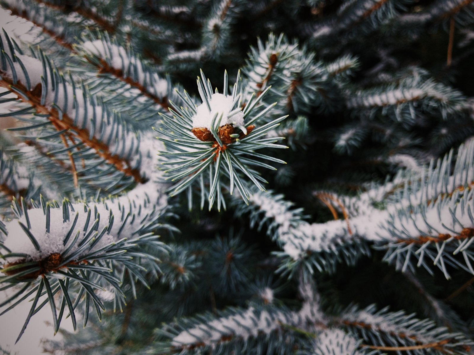 Snow rests gently on evergreen needles on a cold, winter day.
