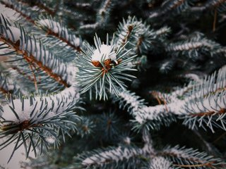 VSCO RAW/X and Topo Designs - Photo 6 of 9 - Snow rests gently on evergreen needles on a cold, winter day.