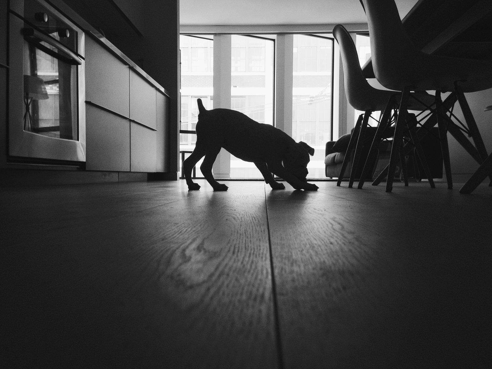 Dogs on Dwell:  My Modern Boxer Tofu by Nikki Janda