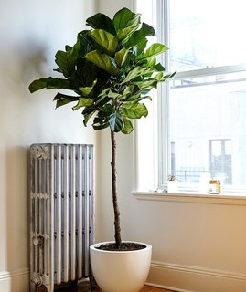 Why Plants Improve Mornings, by The Sill - Photo 3 of 4 - Fiddle leaf fig plants are great for early risers; Source: Sidney Bensimon/The Sill