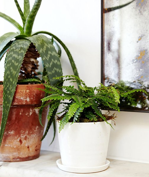 Although ferns need regular watering, they don't require much light; Source: Sidney Bensimon/The Sill  Photo 5 of 5 in Why Plants Improve Mornings, by The Sill