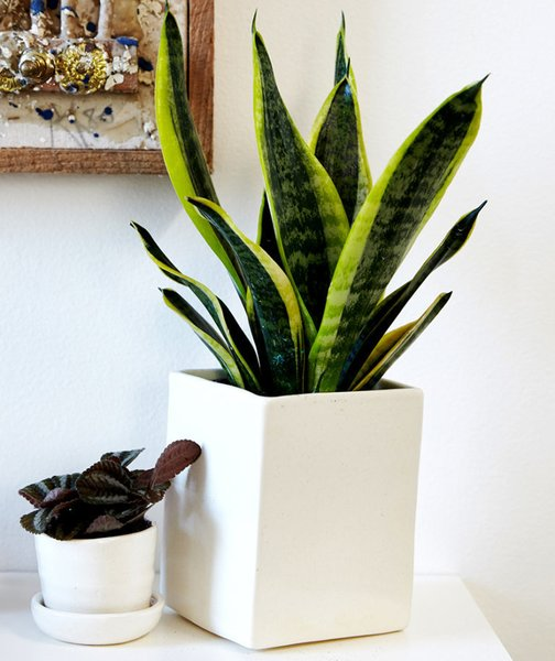 Hit the snooze button often? Select the snake plant; Source: Sidney Bensimon/The Sill