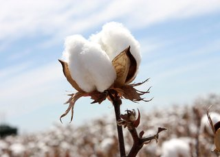 What is Egyptian Long-Staple Cotton - Photo 2 of 3 - When a cotton plant is exposed to extreme temperatures, water stress or nutrient deficient soil, it will produce shorter fibers – and weaker weaves; Source: Cotton Australia