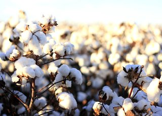 What is Egyptian Long-Staple Cotton - Photo 3 of 3 - Authentic Egyptian long-staple cotton is the top dog of quality Bedding; Source: Denim Hunters