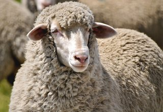 What Is Merino Wool? - Photo 1 of 3 - Merino sheep can wear up to 15 pounds of wool while Merino rams can carry up to 40; Source: Core Merino