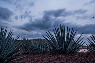Patrón Designed a Spanish Colonial Guest House with Modern Flair - Photo 4 of 14 - Local agave plants used in Tequila production compliment outdoor landscaping.