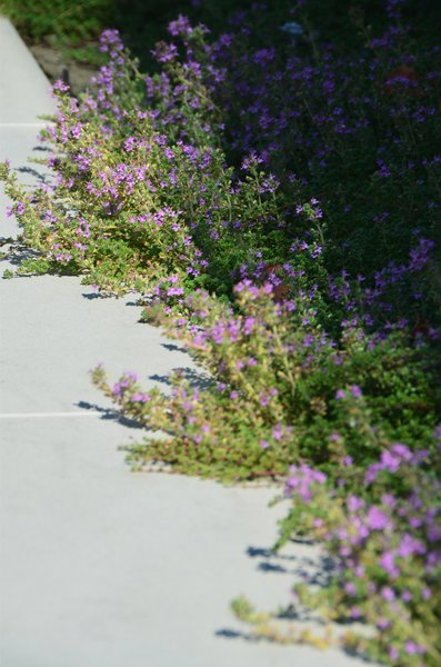 Creeping Thyme Detail Photo 10 of Los Altos Hills Landscape modern home